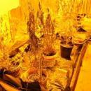 Nielegalnej uprawy