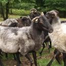 Owce wrzosówki pomagają wochronie łąk Karkonskiego Parku Narodowego