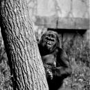 Goryle wracają dowrocławskiego zoo