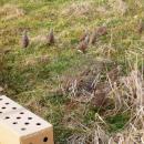 Akcja ratowania kuropatw: siedemset ptaków zostało wypuszczonych na pola wokolicach Oleśnicy