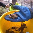 Akcja Żaba - na ratunek płazom, które giną pod kołami samochodów