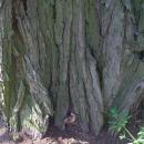 Zabójca drzew wBolesławcu?