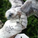 Finał akcji ratowania sokołów wędrownych