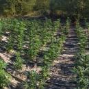 Kolejna nielegalna plantacja zlikwidowana