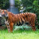 ZOO Wrocław pomaga tygrysom