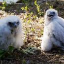 Dowody osobiste dla młodych sokołów zDoliny Baryczy. Cztery ptaki zostały zaobrączkowane